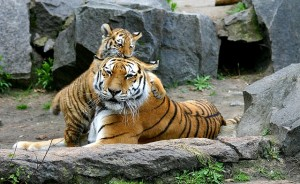 Akcióterv a tigrisekért