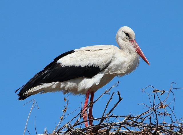 Miért telel itthon egyre több gólya?
