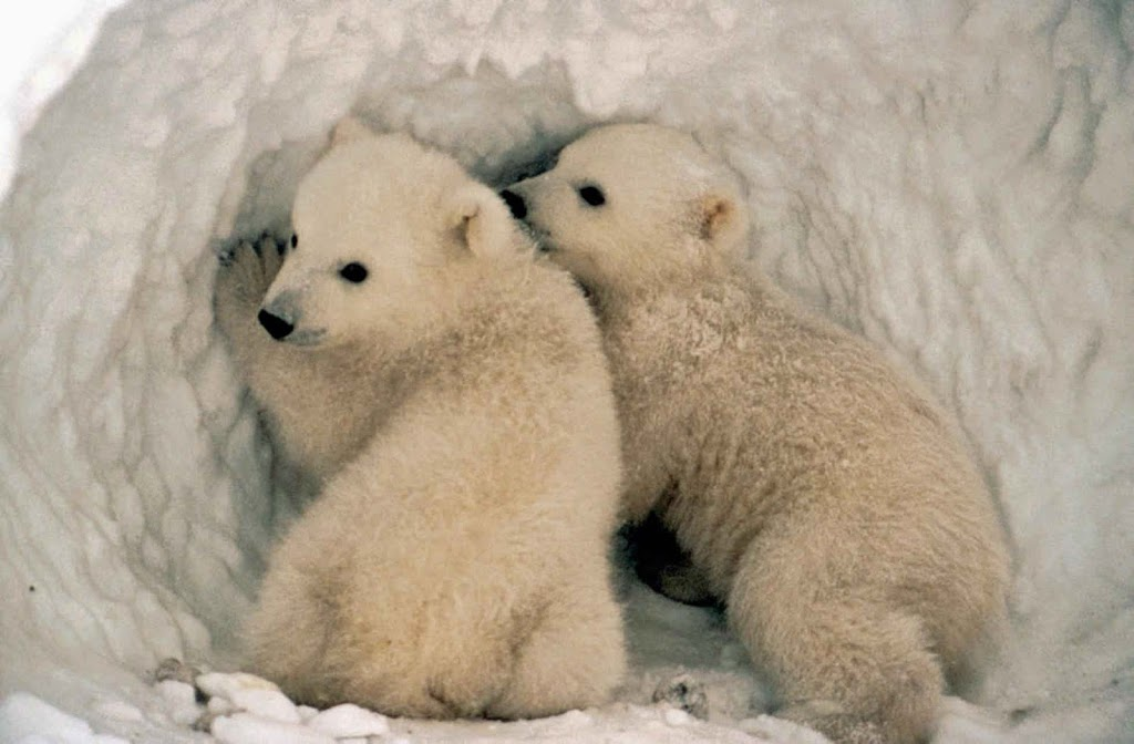 A jegesmedvék védelme