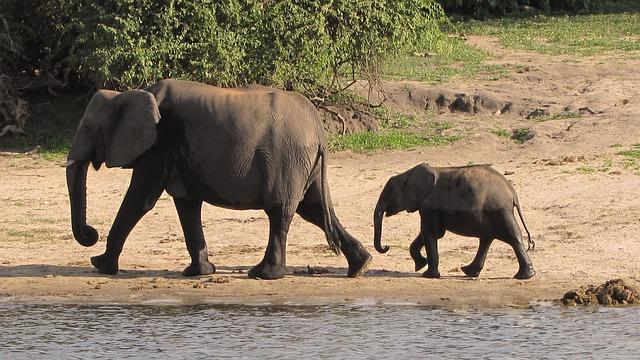 Roi, az elefántborjú megmentése