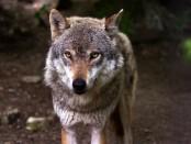 Jöjjenek a farkasok!