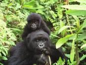 Veszélyben a Virunga Nemzeti Park gorillái