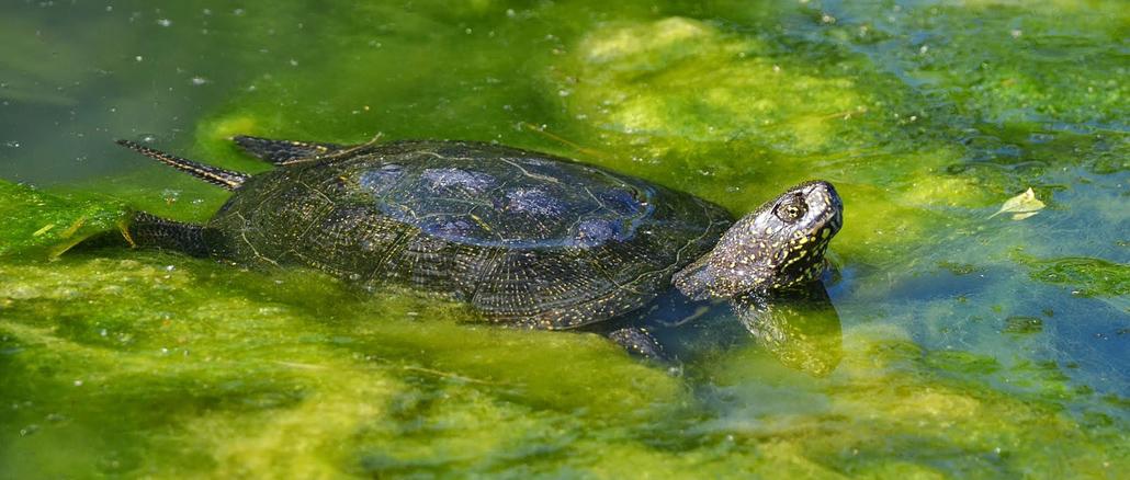 Vadon élő páncélosunk: a mocsári teknős