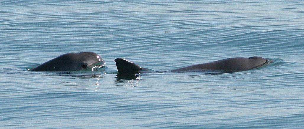 Megmenekülhet a kaliforniai disznódelfin?