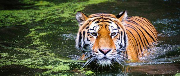 Kis számok nagy jelentősége a tigrisek védelmében