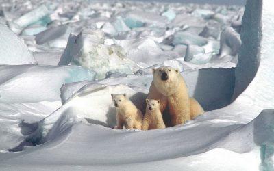 Tegyél te is a jegesmedvékért