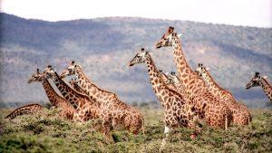 A zsiráfok védelme