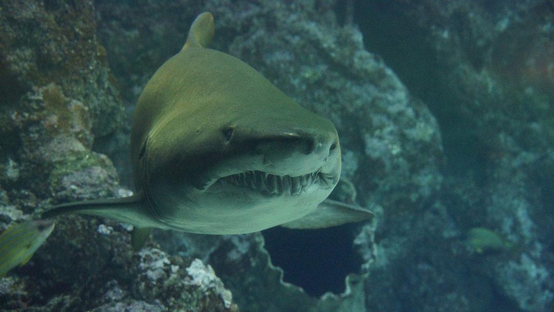 Veszedelmesek és mégis veszélyben vannak – a cápák