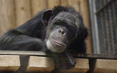 Az emberszabású majmok is az emberek segítségére szorulnak