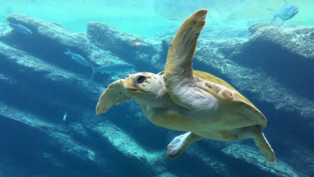 Kedvenc tengeri teknőseink