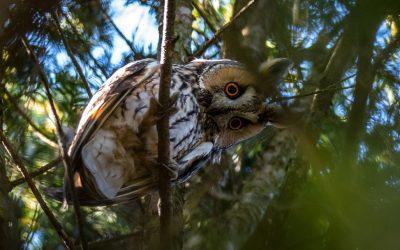 9 érdekesség az erdei fülesbagolyról, 2020 év madaráról